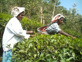 Tea Plantation in Ponmudi